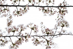 budding-pink-cherry-flowers