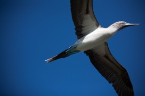 flying-blue-footed-booby