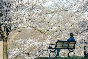 man-sits-on-bench-and-admires-the-cherry-blossoms